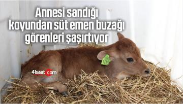 Annesi Sandığı Koyundan Süt Emen Buzağı Görenleri Şaşırtıyor