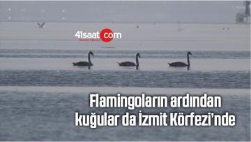 Flamingoların Ardından Kuğular Da İzmit Körfezi'nde