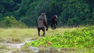 İlk kez gorillere ölümcül şempanze saldırıları gözlemlendi